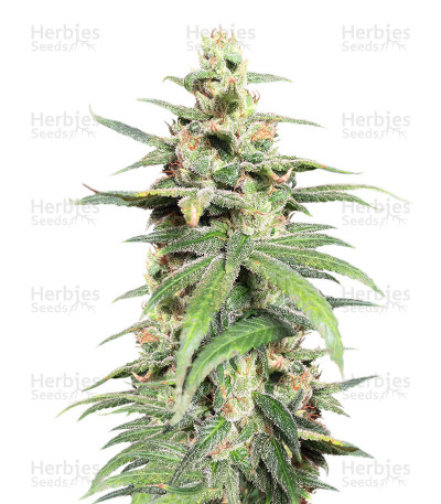 Buy Pakistan Chitral Kush Regular by Ace Seeds