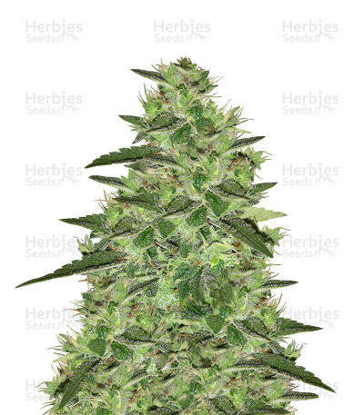 Buy Auto Gelato feminized seeds