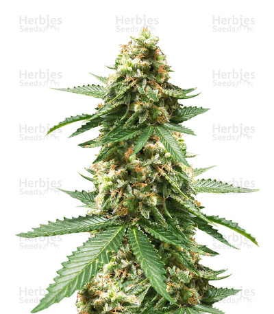Buy Early Widow feminized seeds