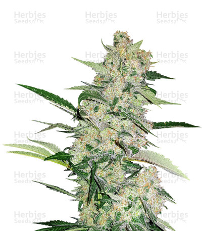 Buy Hash Fruit Regular seeds