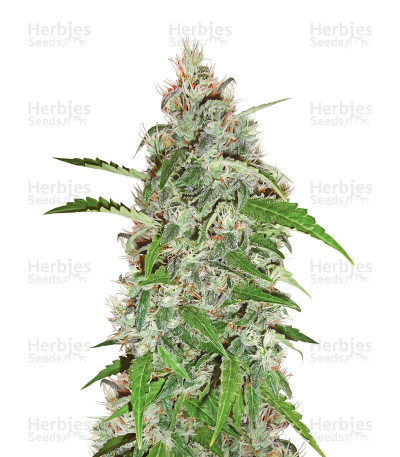 Buy Nevil Bilbo Auto feminized seeds