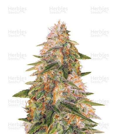 Buy Tropic Punch feminized seeds