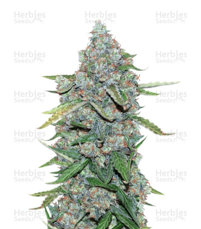 Buy Auto CBG feminized seeds