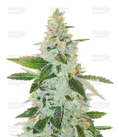 Larry's Lemon OG (Garden Of Green Seeds) Cannabis-Samen