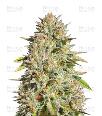 Buy Gorilla Glue #4 feminized seeds (Original Sensible Seeds)