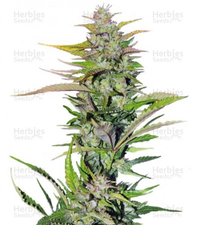 Buy Black Jack feminized seeds