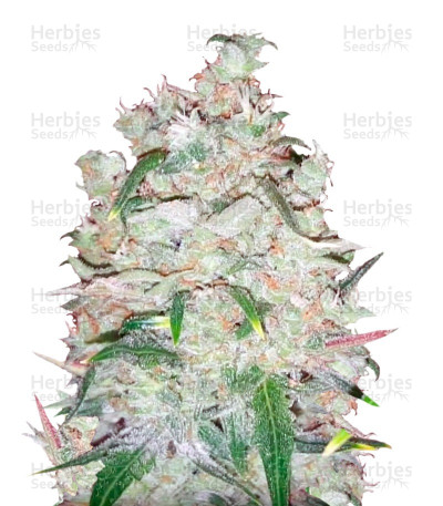 Buy Afghan Cow feminized seeds