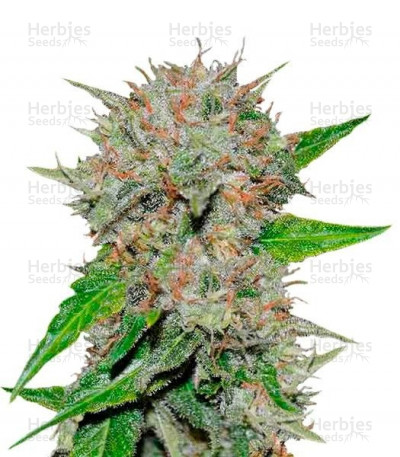 Buy Deep Mandarine feminized seeds