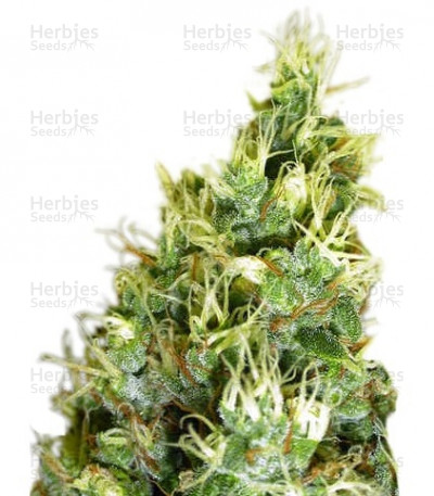 Buy Double Dutch Regular seeds