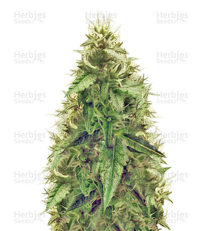 Buy AK-49 Auto feminized seeds