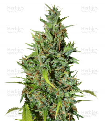 Buy Neville Haze Ryder feminized seeds