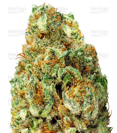 Buy Turbo Bud Auto feminized seeds