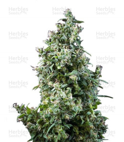 Buy White Bhutanese feminized seeds