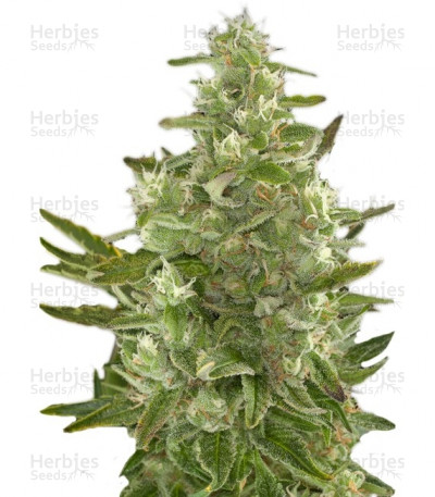 Buy Critical Autoflowering feminized seeds by