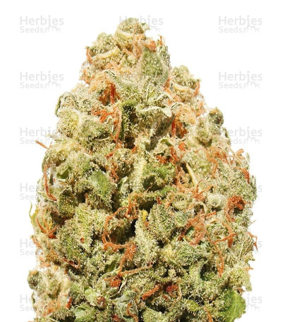 Buy Strawberry Cake feminized seeds