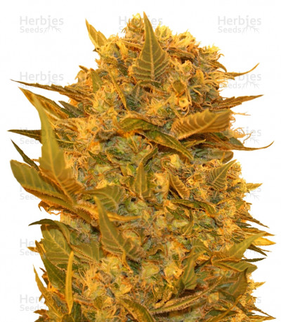 Buy Sour P feminized seeds