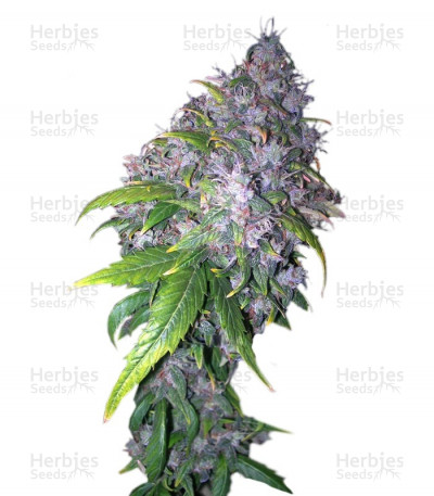 Buy Auto AK feminized seeds