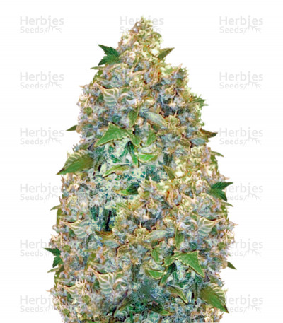 Buy Auto Chronic Monster XXL (Auto Chronic XXL) feminized seeds