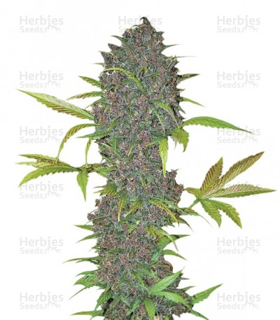 Buy LSD-25 Auto feminized seeds