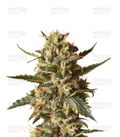 Buy Bubblegum XL feminized seeds