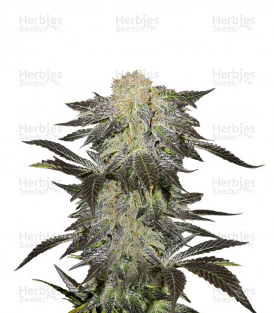 Buy Mendocino Madness regular seeds