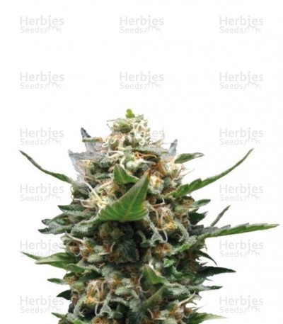 Buy Royal Medic CBD feminized seeds (Royal Queen Seeds)