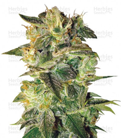 Buy Sugar Mango Ryder feminized seeds