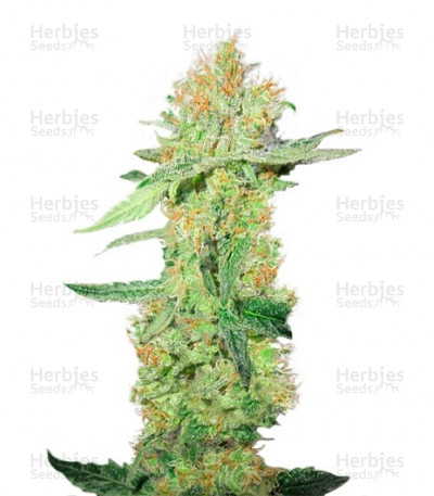 Buy Y Griega CBD feminized seeds