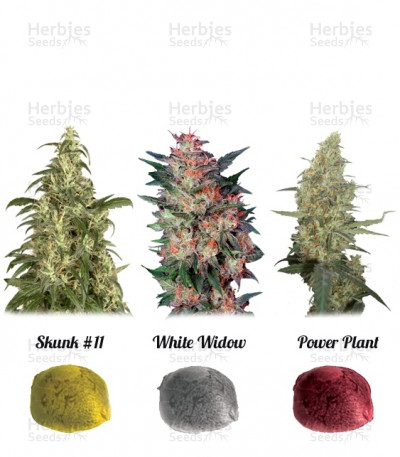 Buy Colour Mix 3 feminized seeds