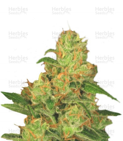 Buy Auto Acid feminized seeds