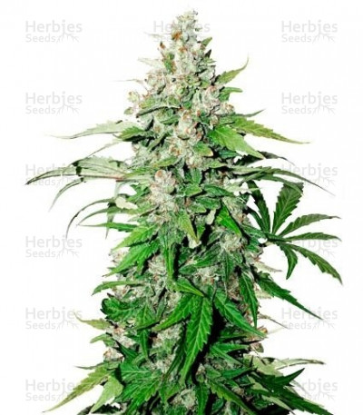 Buy Auto Cinderella Jack feminized seeds