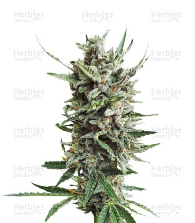 Buy Auto Critical Hog feminized seeds