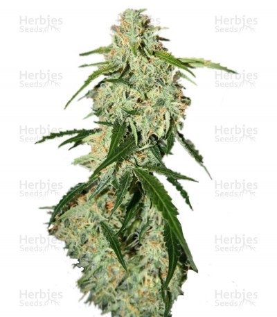 Buy Big Bang Auto feminized seeds