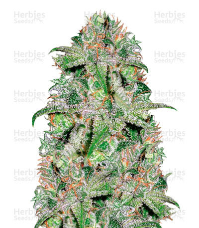 Buy Doctor Jamaica feminized seeds
