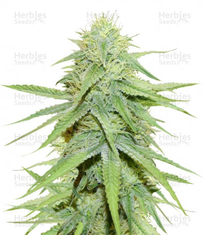 Buy Grand Master Kush regular seeds