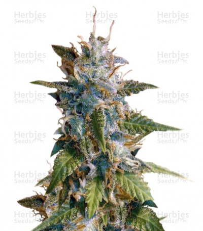 Buy MkAge feminized seeds