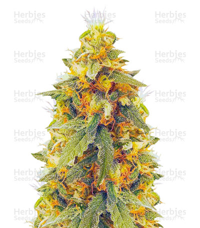 Buy Northern Lights feminized seeds (Vision Seeds)