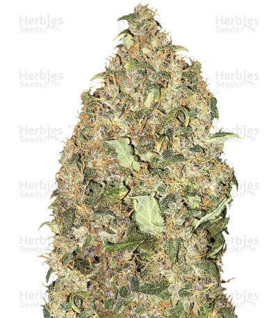 Buy Peyote Cookies fem feminized seeds