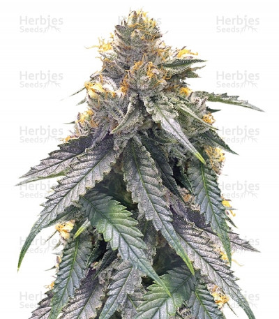 Buy Bubba's Gift feminized seeds