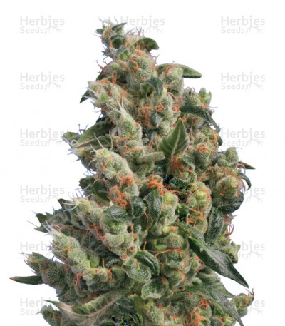 Buy Kushage regular seeds
