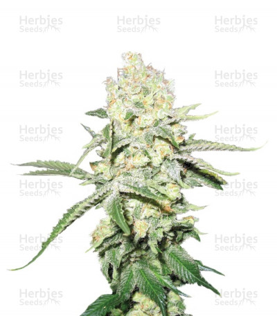 Buy No Name feminized seeds
