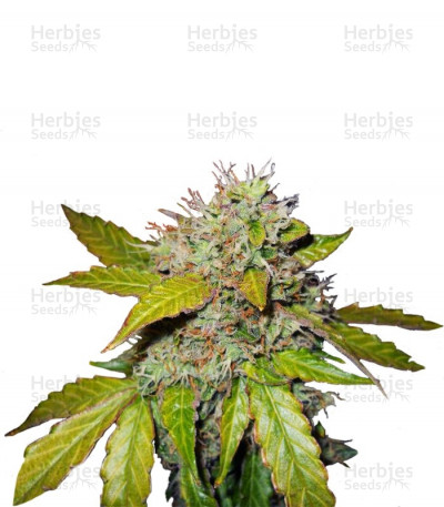 Buy Northern Light Automatic feminized seeds