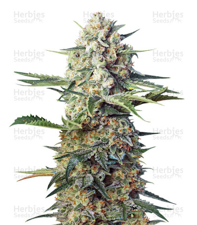 Buy Crystal Candy F1 Fast Version feminized seeds