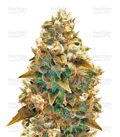 Buy AK-49 feminized seeds