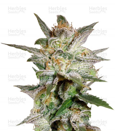 Buy Star 47 feminized seeds