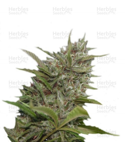 Buy Auto Whiteberry feminized seeds