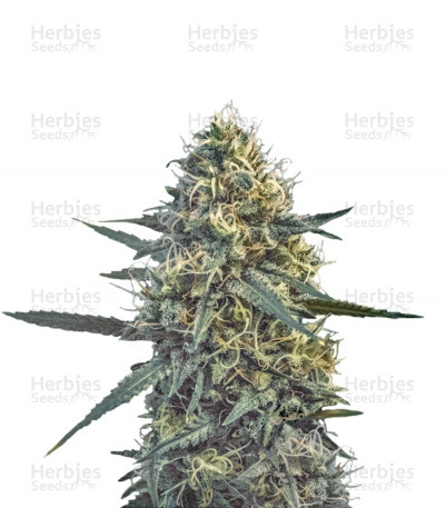 Buy Critical Hog feminized seeds