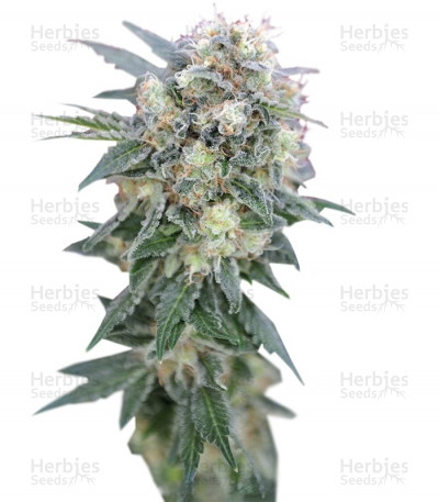 Buy Ganesh Regular seeds