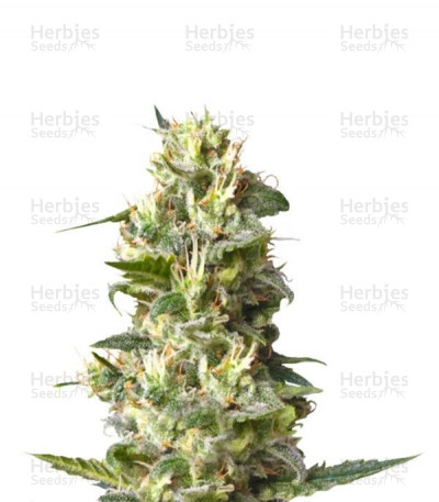 Buy Lemon Shining Silver Haze feminized seeds