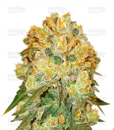 Buy Marmalate feminized seeds